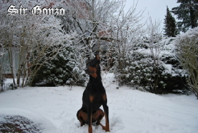 Gonzo im Winter   Dobermann Hamburg